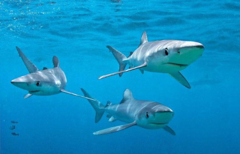 Blue shark, Cape Point, South Africa