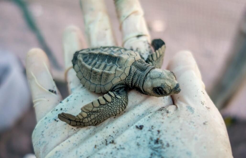 קוסטה ריקה – שימור צבי ים