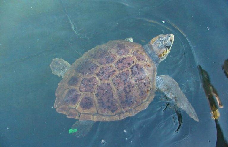 יוון צבי ים1
