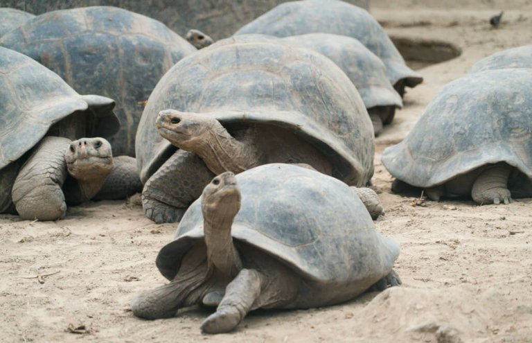 שימור צבי ענק באיי גלאפגוס-11