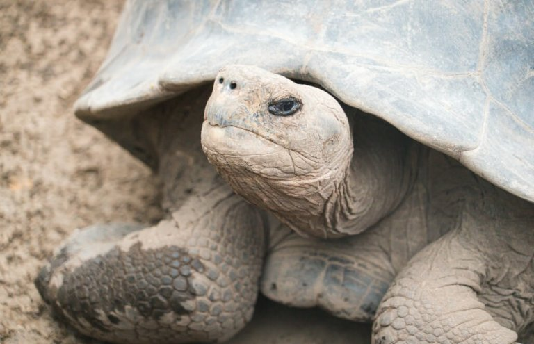 שימור צבי ענק באיי גלאפגוס-15