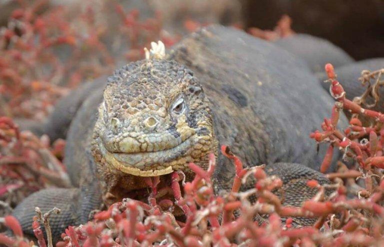 שימור צבי ענק באיי גלאפגוס-16