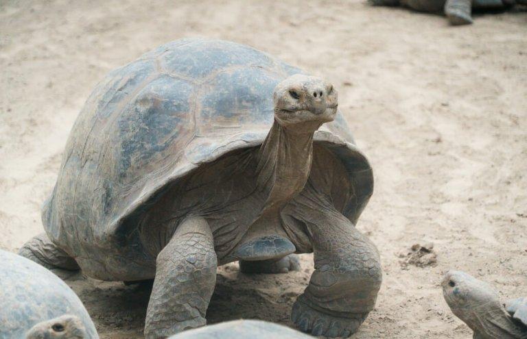שימור צבי ענק באיי גלאפגוס-18