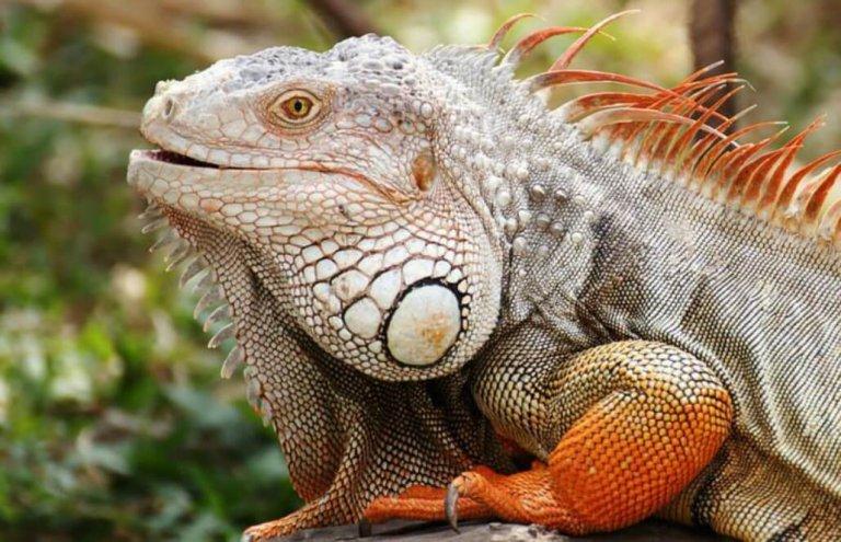 שימור צבי ענק באיי גלאפגוס-2