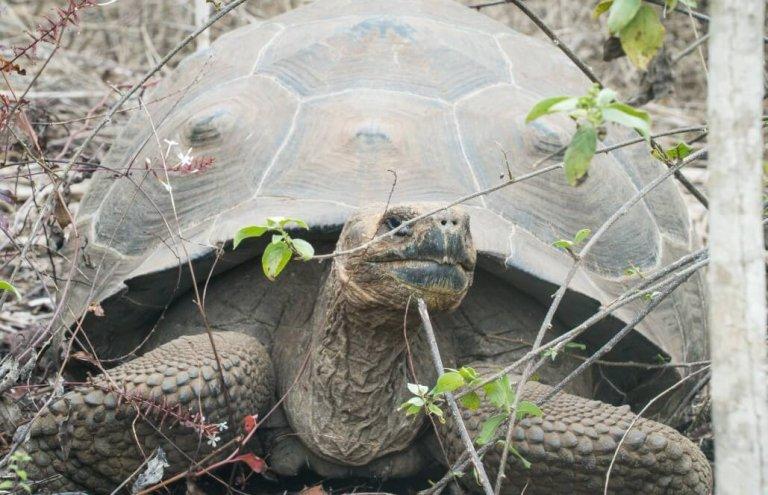 שימור צבי ענק באיי גלאפגוס-21