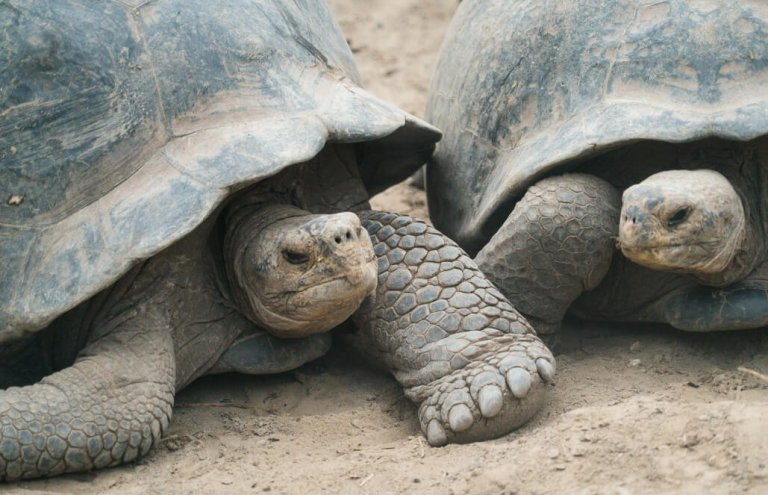 שימור צבי ענק באיי גלאפגוס-25