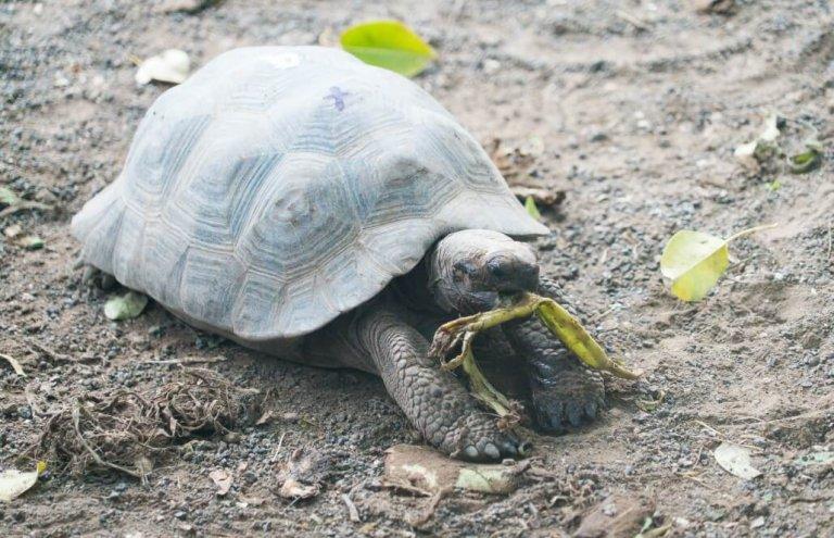 שימור צבי ענק באיי גלאפגוס-27