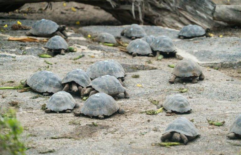 שימור צבי ענק באיי גלאפגוס-28