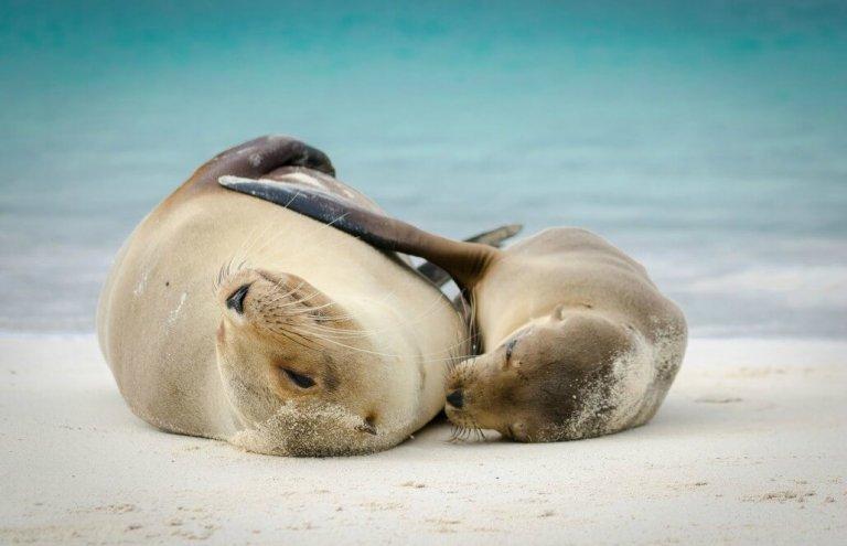 שימור צבי ענק באיי גלאפגוס-3