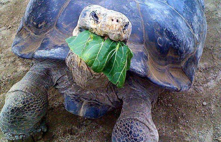 שימור צבי ענק באיי גלאפגוס-7