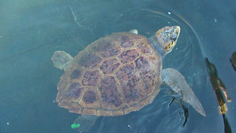 יוון – שימור צבי ים