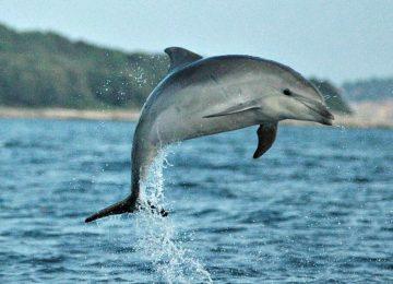 קרואטיה – שימור דולפינים