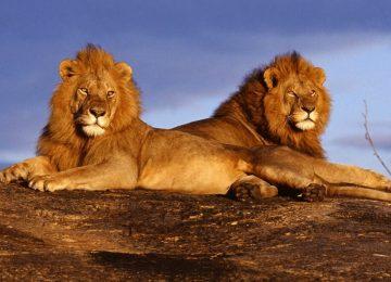 קניה – שימור אריות וטבע במסאי מארה