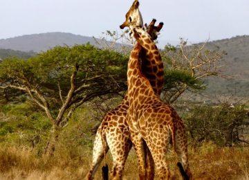 דרום אפריקה – שימור חמשת המינים הגדולים