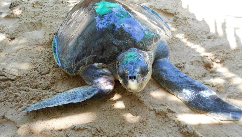 סרי לנקה – שימור צבי ים