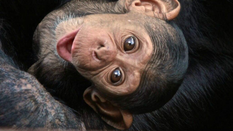 זמביה – טיפול בשימפנזים יתומים