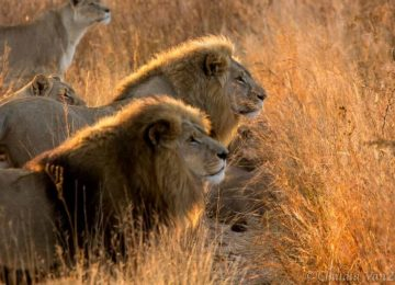 זימבבואה – טיפול באריות בפארק אנטילופ