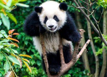 סין – שימור הפנדה הענק