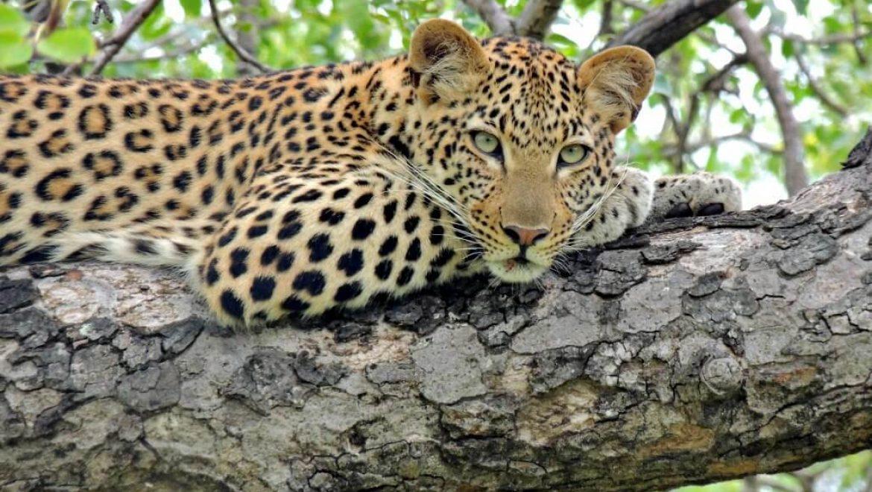 דרום אפריקה – שימור חמשת המינים הגדולים בהודספרוט