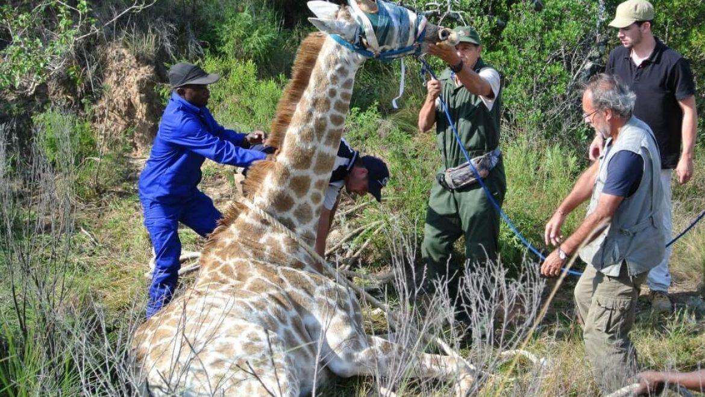 דרום אפריקה – התמחות לתלמידי וטרינריה עם בעלי חיים