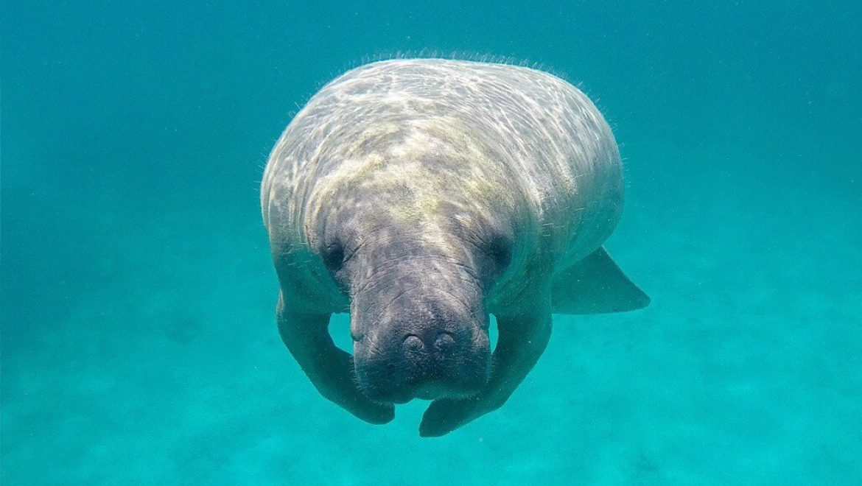 בליז – שימור פרת הים הקריבית